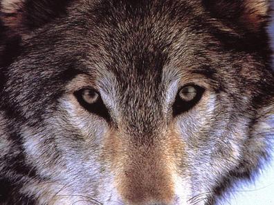 La légende des loups